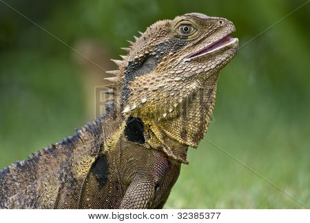 The Australian Lizard, The Eastern Water Dragon.
