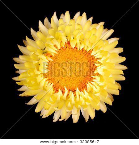 Single Yellow Strawflower Isolated Against Black