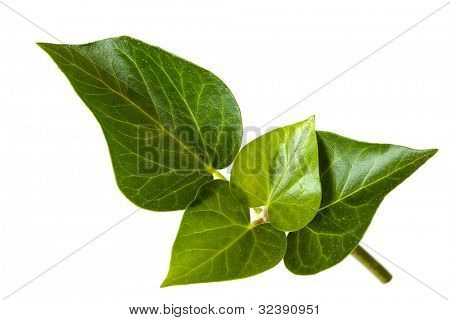 Ivy leaves isolated on white background.