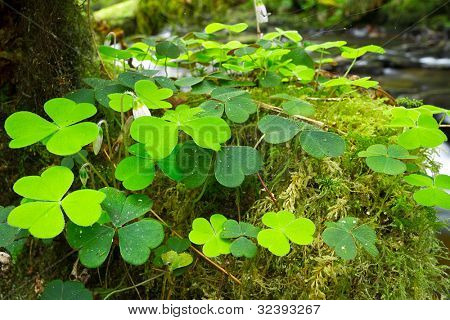 Green Irish clover leafs in the forest