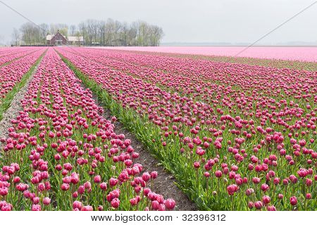 Big Field With Numerous Of Red And Purple Tulips In The Netherlands