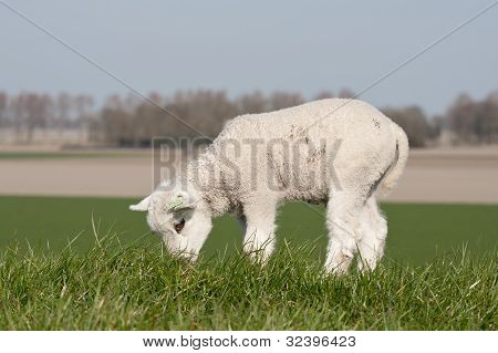 Grazing Lamb On A Dike