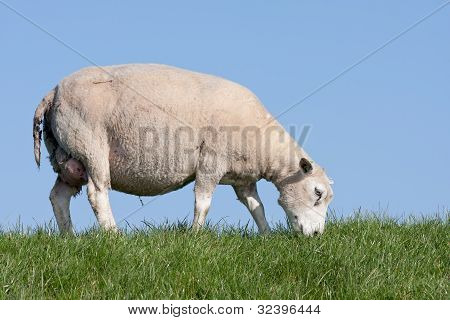 Grazing Sheep At A Dike In The Netherlands