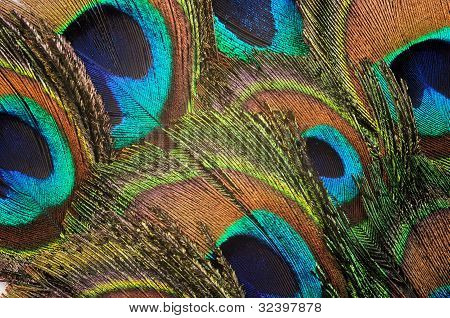 Peacock Feather Backgound