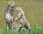 stock photo of cheetah  - Cheetah in Masai Mara national park - JPG