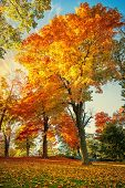 Colorful Autumn Foliage Trees At A Park In New England. Maple Tree Leaves Forming A Beautiful Golden poster