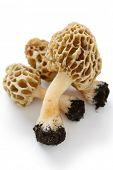 picture of morchella mushrooms  - morels - JPG