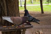 Doves Sitting On The Bird Feeder On The Tree In The Park. Birds Feed From The Trough. Feeding Birds  poster
