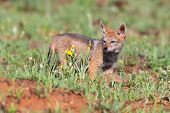 Lone Black Backed Jackal Pup Standing In Short Green Grass To Explore The World poster