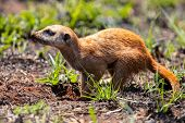 Meerkat Digging In The Soil To Hunt Worms For Eating In The Sunlight poster