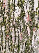 Mossy Bark Of An Old Oak Tree, Forming A Beautiful Pattern. Wild Green Moss Grow On Bark Tree In The poster
