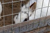Domestic Furry White And Black Spotted Farm Rabbit Bunny Behind The Bars Of Cage At Animal Farm. Liv poster