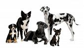 foto of sheep-dog  - group of dogs in front of a white background - JPG