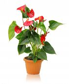 picture of monocots  - Whole plant anthurium in a pot on a white background - JPG