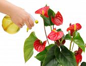 stock photo of monocots  - One hand that holds the yellow sprayer watering anthurium - JPG