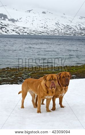 Two Dogues De Bordeaux against glacier, summer in Norway mountains