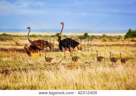 Ostrich family walking on savanna in Africa. Safari in Amboseli, Kenya
