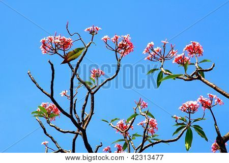 Pink Panicle Frangipani