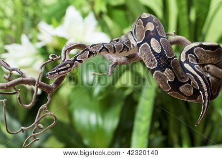 Koninklijke Python-Snake rustte op de tak