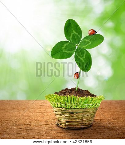 Clover with ladybugs in decorative pot on green background