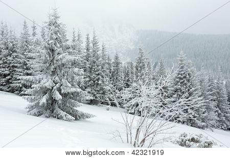 Winter Dull Day Mountain Fir Trees