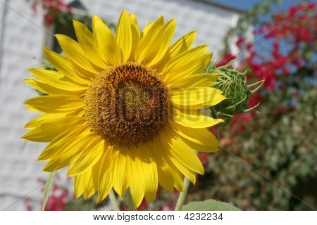 Sunflower And Garden