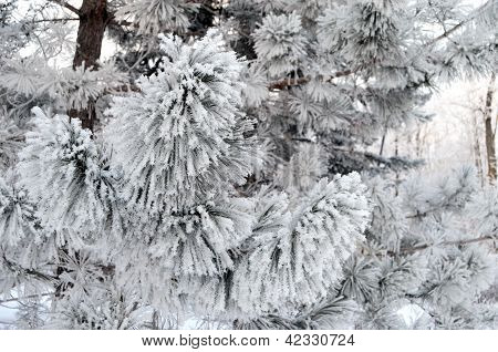 Heavy snow laden pine branches