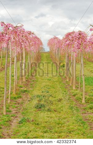 Pink Rows