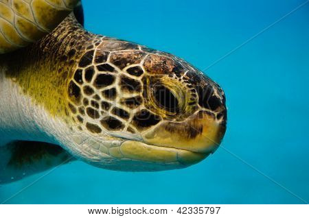 Loggerhead Turtle Closeup