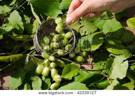 Hazel Nut Wicker Metal Dish Woman Hand Hold Nut