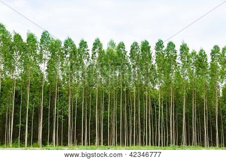Eucalyptus Forest In Thailand