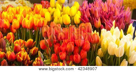 Various Colored Tulips