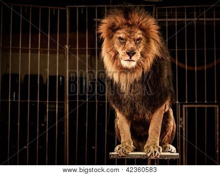 Lion in circus cage