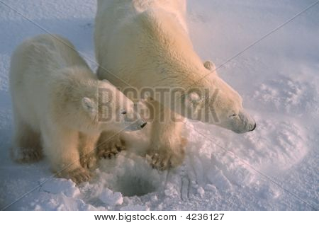 Polar Bears In Canadiab Arctic