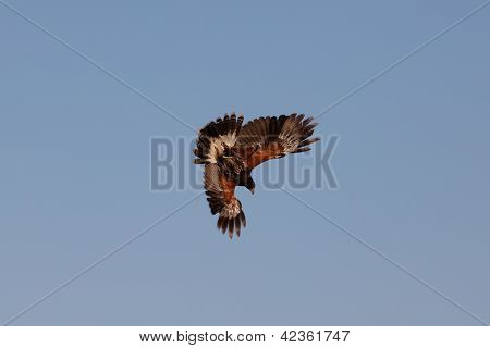 Attack of a buzzard