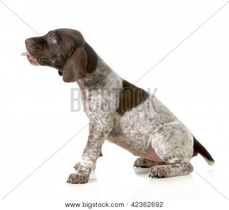 puppy with tongue out - german short haired pointer with tongue sticking out isolated on white background - 5 weeks old