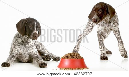 dog dinner time - german shorthaired pointers excited about being fed isolated on white background