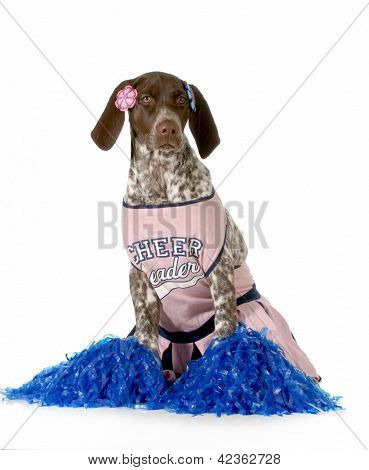 cheerful dog - german shorthaired pointer dressed up like a cheerleader on white background