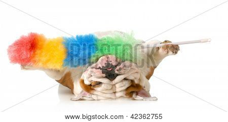 cleaning up after the dog - english bulldog upside down holding feather duster isolated on white background