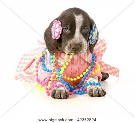 female puppy - german short haired pointer puppy dressed up in girls clothing isolated on white background - 5 weeks old