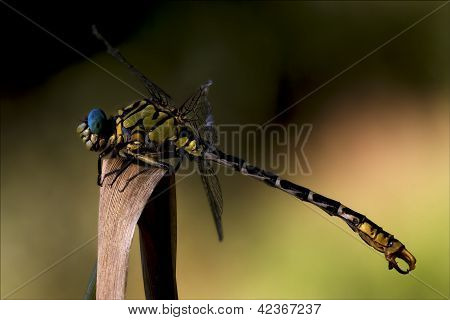 Wild Black Yellow Dragonfly Anax Imperator