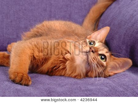 Somali Cat Playing On The Sofa