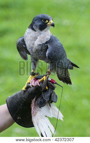Peregrine Falcon (falco Peregrinus On Training