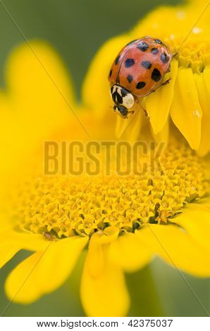 Ladybird On Yellow Flower, Coccinella