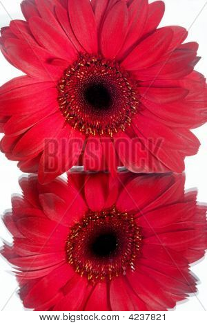 Reflected Red Daisy