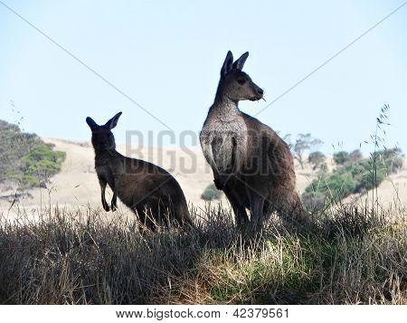 Kangaroos in Australia.