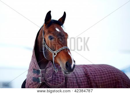 Portrait Of A Sports Stallion In A Body Cloth.