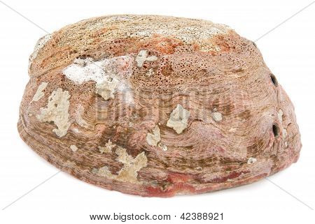 Abalone Shell Outside With Clipping Path