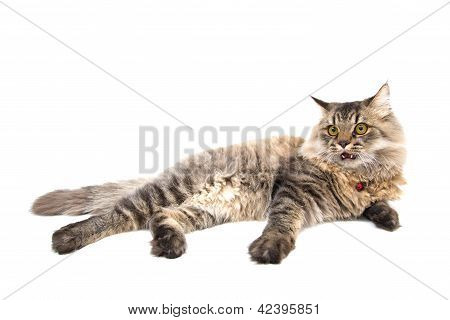 Scaring Persian Cat On White Background