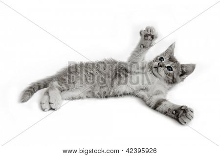 sitting  cat isolated on white background